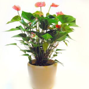 Anthurium Red Today